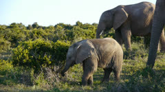 Baby elephant and family Stock Footage