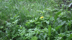 Lonely dandelion on the lawn in the rain Stock Footage