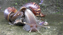 two snails in love - stock footage