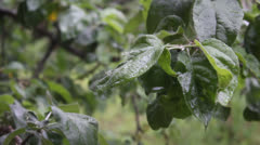 Rain washes the leaves of apple - stock footage