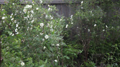 White rose bush in the rain Stock Footage