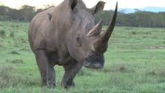 White rhino facing the camera. Stock Footage