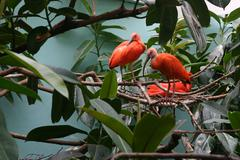 Scarlet Ibis Birds 2 - stock photo