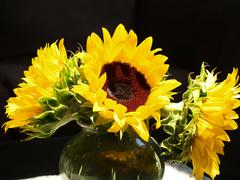 sunflowers brightly lit - stock photo
