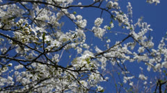Peach blossoms Stock Footage