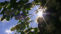 Sunbeams and jasmine flowers Stock Footage