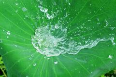 Water on a lotus leaf. Stock Photos