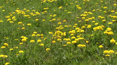 Meadow in Spring yellow flowers Stock Footage