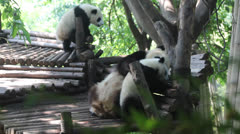 A baby panda panda and lovely Stock Footage