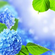 Beautiful hydrangea flowers. Stock Photos