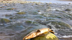 Humpback salmon break among the rough river, splashes  and fishes aspire forward Stock Footage