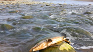 Stock Video Footage of humpback salmon break among the rough river, splashes  and fishes aspire forward
