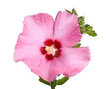 Flower and buds of rose of sharon on white Stock Photos
