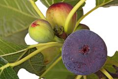 ripe and unripe figs on a tree - stock photo