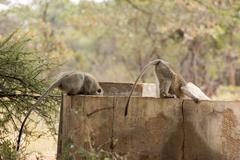 Monkeys drinking water Stock Photos