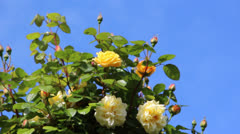 Garden of roses Stock Footage