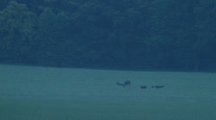 Wild boars and mooses on a field Stock Footage