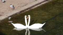 Couple of swans making heart shape - stock footage