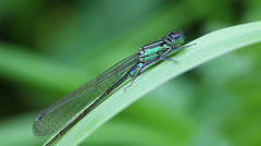 Azure Damselfly - macro - stock footage