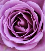 fragile pink petal rose background - stock photo