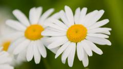 Daisy Flowers 1 Swamp 5D3RawDNG 1920x1080 24p CBR 80mbps Stock Footage