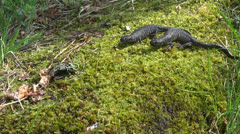 two Great Crested Newt (Triturus cristatus) on  spring moss - stock footage