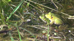 Pair Little Water Frog( Rana lessonae) in pond. Spawning time Stock Footage