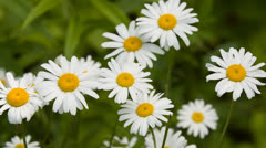Daisy Flowers 2 Swamp 5D3RawDNG 1920x1080 24p CBR 80mbps Stock Footage