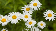 Stock Video Footage of Daisy Flowers 2 Swamp 5D3RawDNG 1920x1080 24p CBR 80mbps