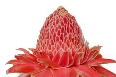 zingiberaceae,torch ginger,etlingera elatior (jack) r.m. smith) - stock photo