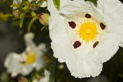 Cistus ladanifer flower Stock Photos
