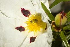 cistus ladanifer flower with insect trichodes octopuntatus - stock photo