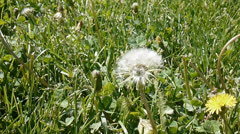 Dandelion seed head spring allergy Stock Footage