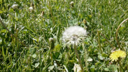 Stock Video Footage of dandelion seed head spring allergy