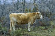 Stock Photo of brown cow in a praire