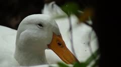 White Peking Duck - stock footage