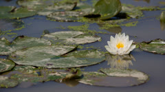 Lily Pad Flower 2 Swamp 5D3RawDNG 1920x1080 24p CBR 80mbps Stock Footage