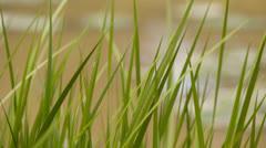 Tall Grass Swamp 5D3RawDNG 1920x1080 24p CBR 80mbps Stock Footage