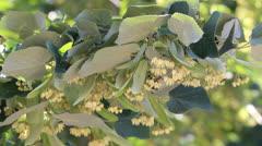 Linden trees in bloom Stock Footage