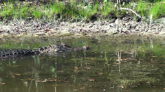 Alligator Turning And Swimming Off Stock Footage