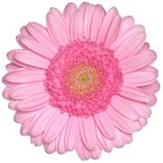 isolated pink gerbera daisy flower - stock photo
