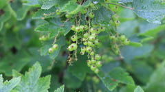Currant bush in summer garden Stock Footage