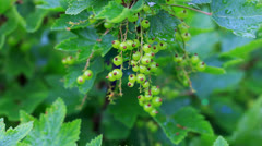 Currant bush in summer garden with sun beam Stock Footage