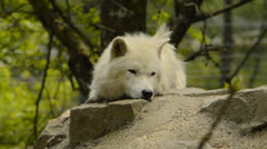 Arctic wolf Stock Footage