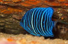 Juvenile blue ring angel fish Stock Photos