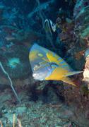 Blue ring angelfish Stock Photos