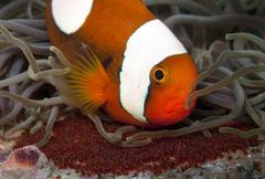 Saddleback anemone fish with eggs Stock Photos