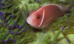Pink anemonefish in a green anemone Stock Photos