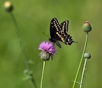Black Swallowtail butterfly (papilio polyxenes) Stock Photos