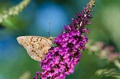 Tawny Emperor butterfly (asterocampa clyton) - stock photo